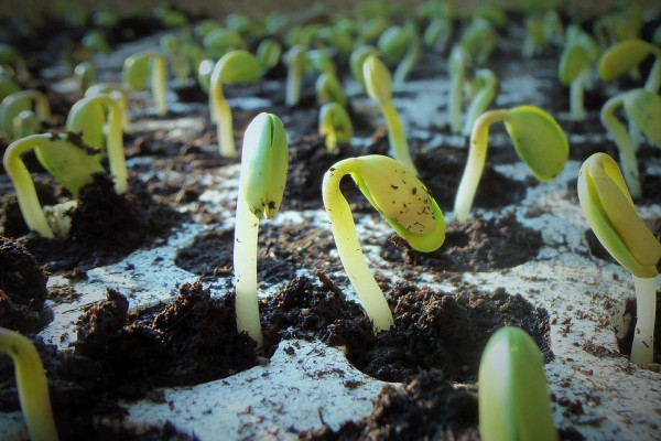 shoots of little soy plants