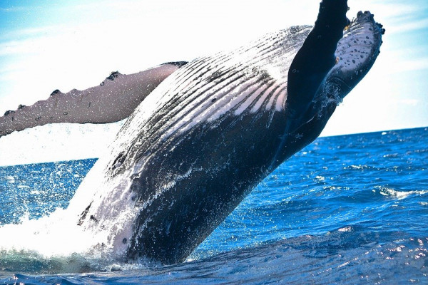 A whale breaching.