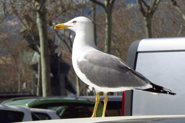 A seagull standing on the back of a car.