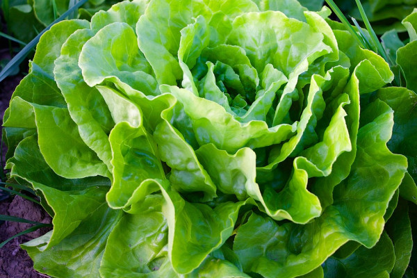 lettuce crop in the soil
