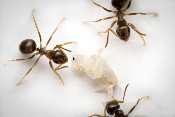 Ants poison diseased brood to halt the spread of infection.