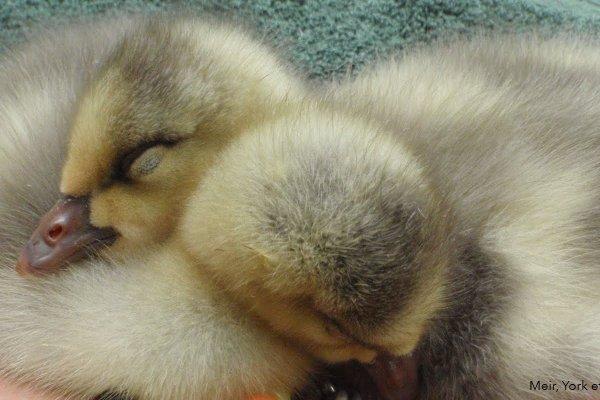 Bar-headed goslings