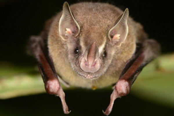 Artibeus watsonii bat
