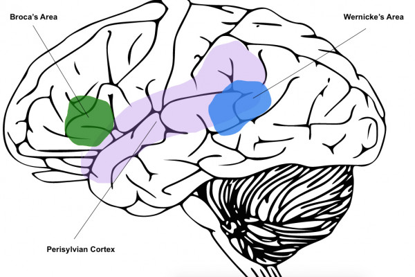 The perisylvian cortex is located on the outside of the brain, with Broca's area at the front and Wernicke's area at the back.
