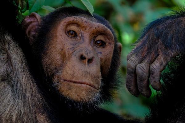 A chimpanzee