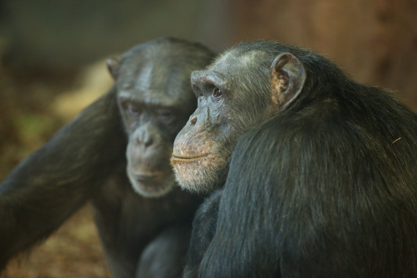 Different personality traits are linked to different lifespans in male and female chimpanzees.