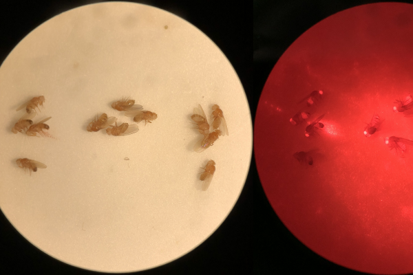 "Shown here in drosophila, a ""gene drive"" is a gene editing technique that biases the inheritance of a genetic element or trait so that it rapidly increases in frequency in a population."