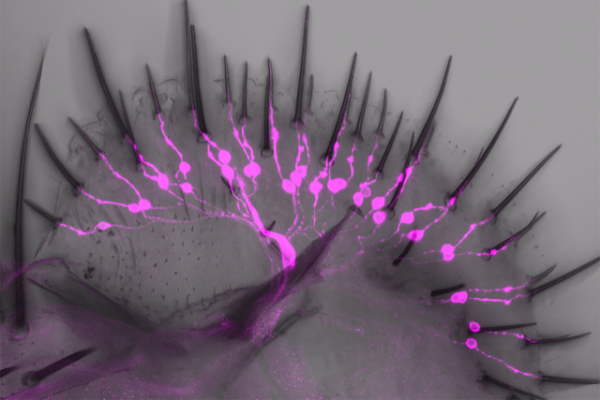 Drosophila labellum with a novel class of salt-aversive neurons labeled.