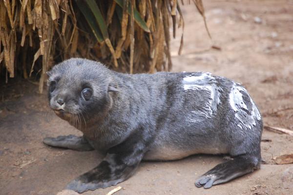 Patagonian fur seal pup