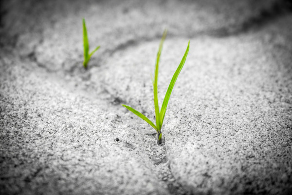 Green shoots of grass growing on a grey sand background