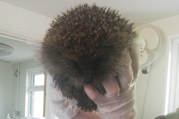A European hedgehog being held by a carer