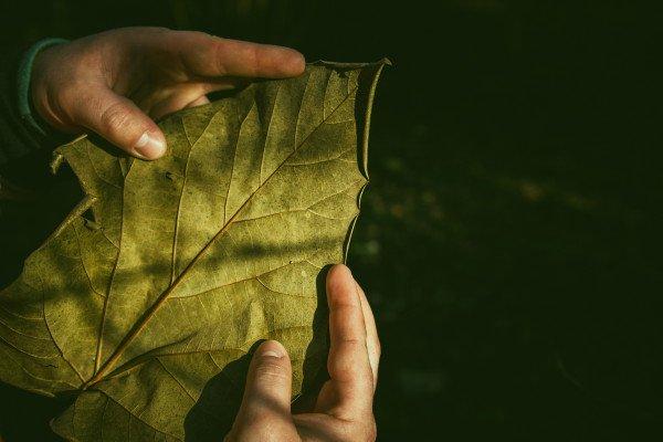 Hands holding a big, green leaf