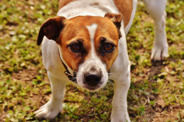 Jack Russell Terrier Dog