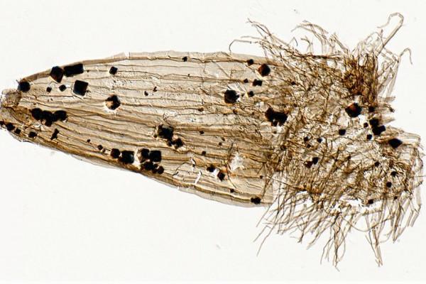Fossilised Loriciferan