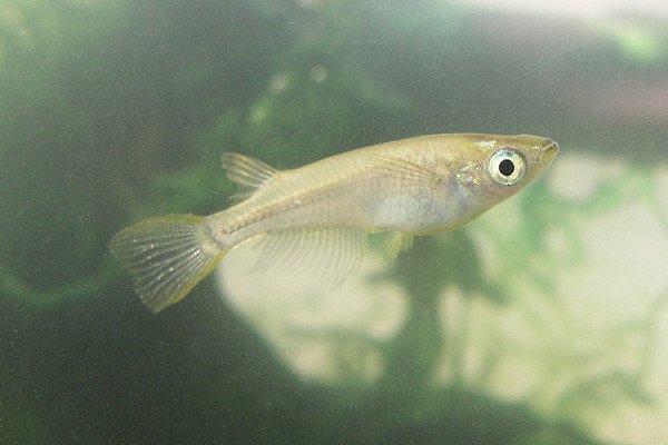 Medaka - Japanese rice fish (Oryzias latipes)
