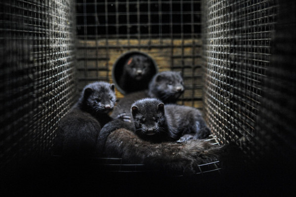 Some mink in a cage.