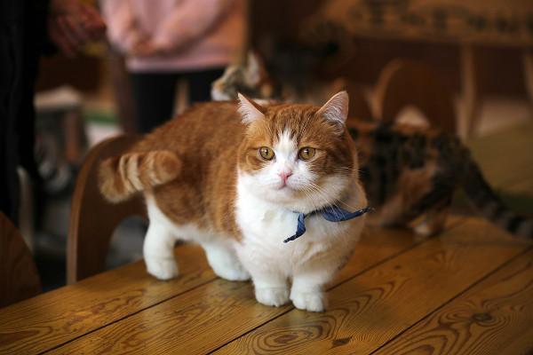 A munchkin cat.