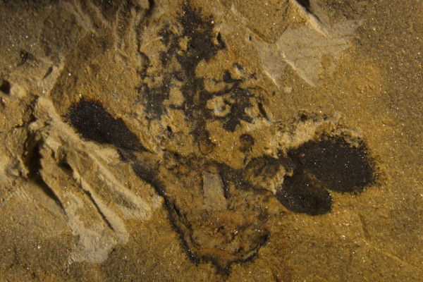 This is a Nanjinganthus fossil, showing its ovary (bottom centre), sepals and petals (on the sides) and a tree-shaped top.