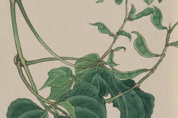 Illustration of a pea plant