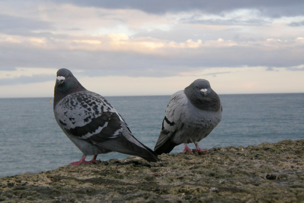 A specific genomic region gives pigeons their plumage patterns.