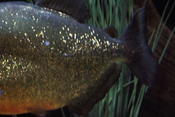 The tail of a piranha.