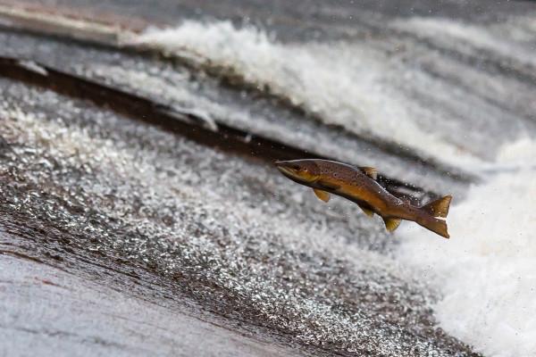 Salmon swimming upstream to mate