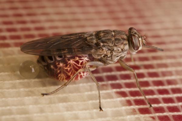 tsetse fly feeding in blood in the laboratory