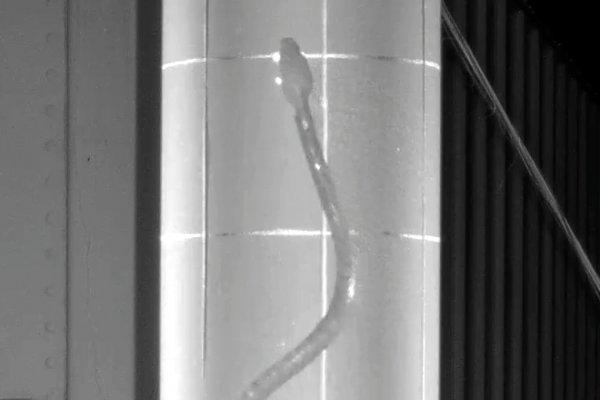 Brown tree snake climbing