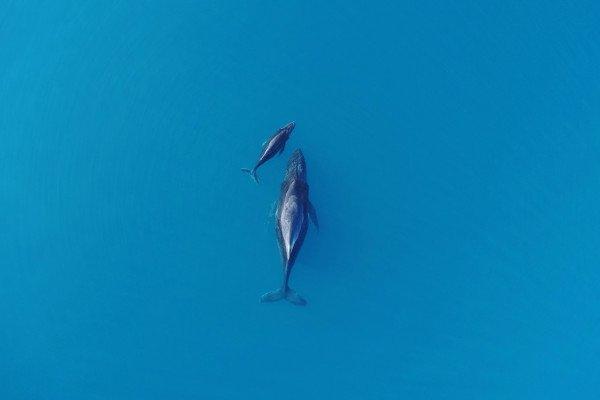 A humpback whale and its calf