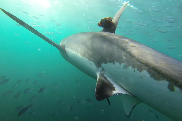 A white shark with attached camera tag