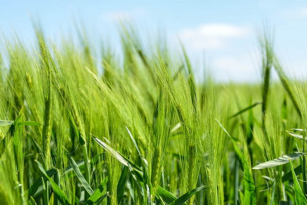The image shows a field of grass.