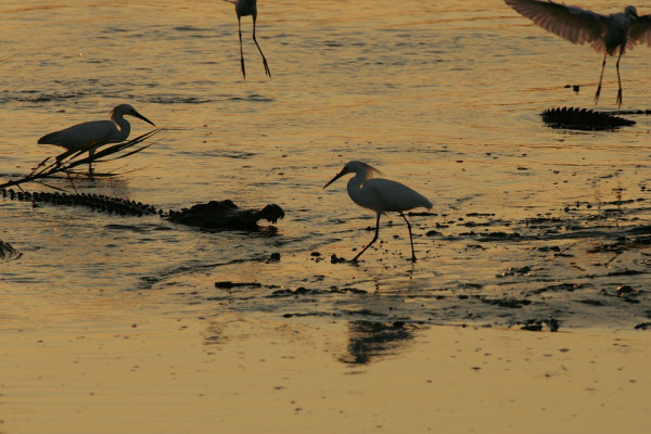 Wading birds and a crocodile