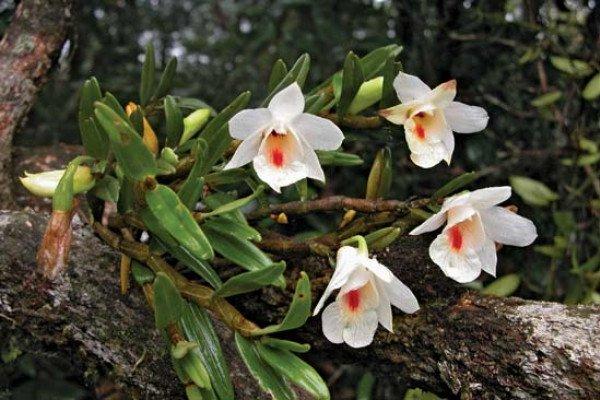 Dendrobium sinense