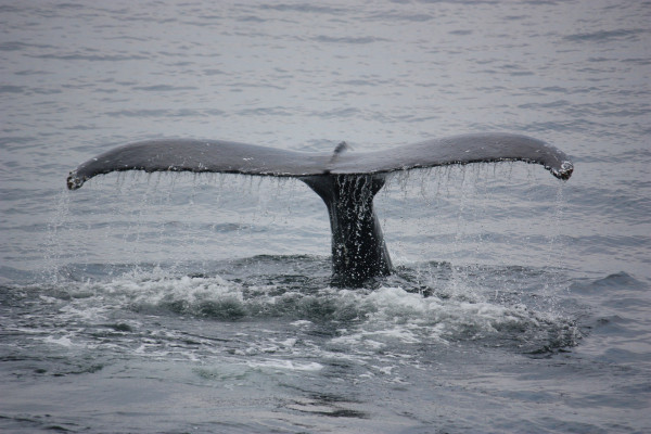 this is a picture of a whale with its tail out of the water