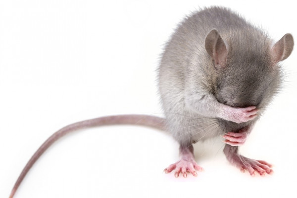 A rat grooming