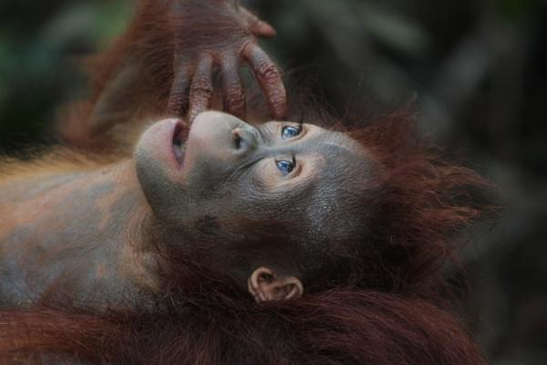 An ape