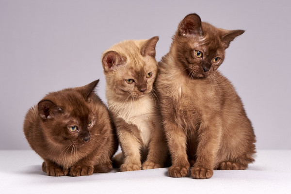 Three brown kittens sitting side by side, looking to their left