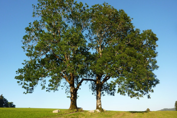 Two ash trees in a park