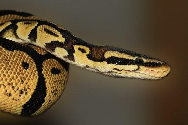 Python in Wild