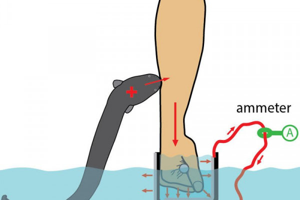 Electric eel shocking an arm