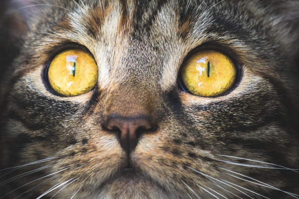 Cat with yellow eyes looking at the camera