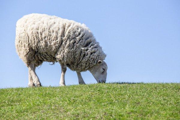 A grazing sheep.