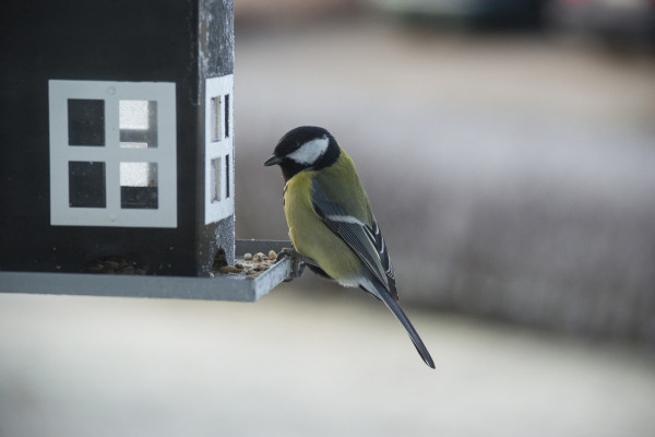 Great Tit at bird feeder