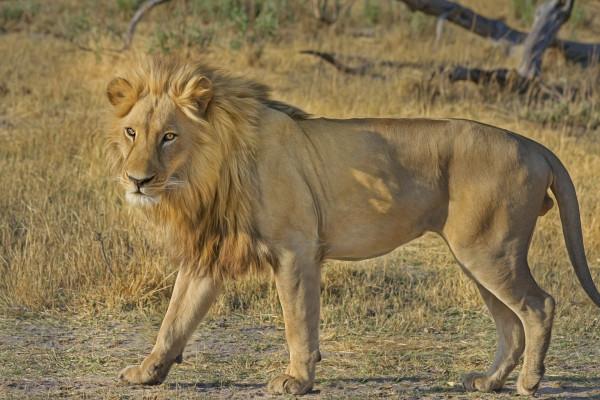 Lion in wild