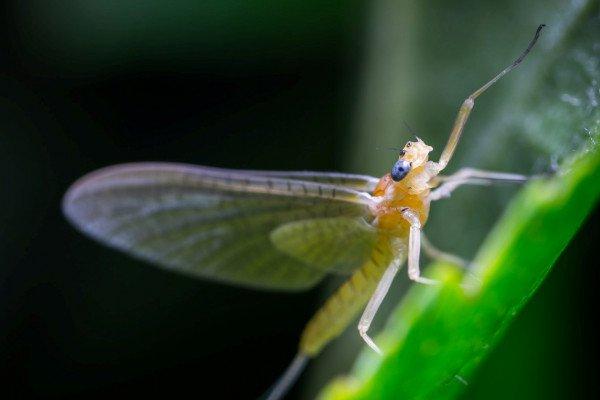 Mayfly on a leaf