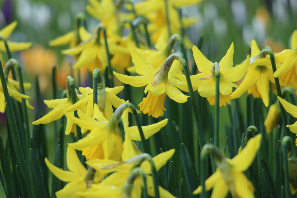 Image of daffodils wilting in a field