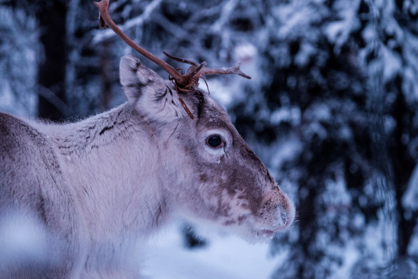 A caribou in a snowy forest.