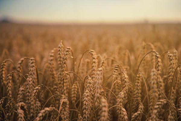 Grain growing in a field