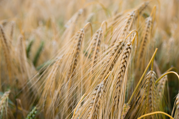 Ears of ripe barley in a field