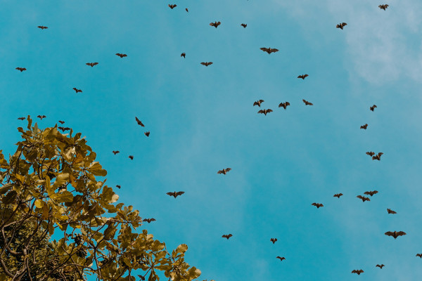 A colony of bats in the air.